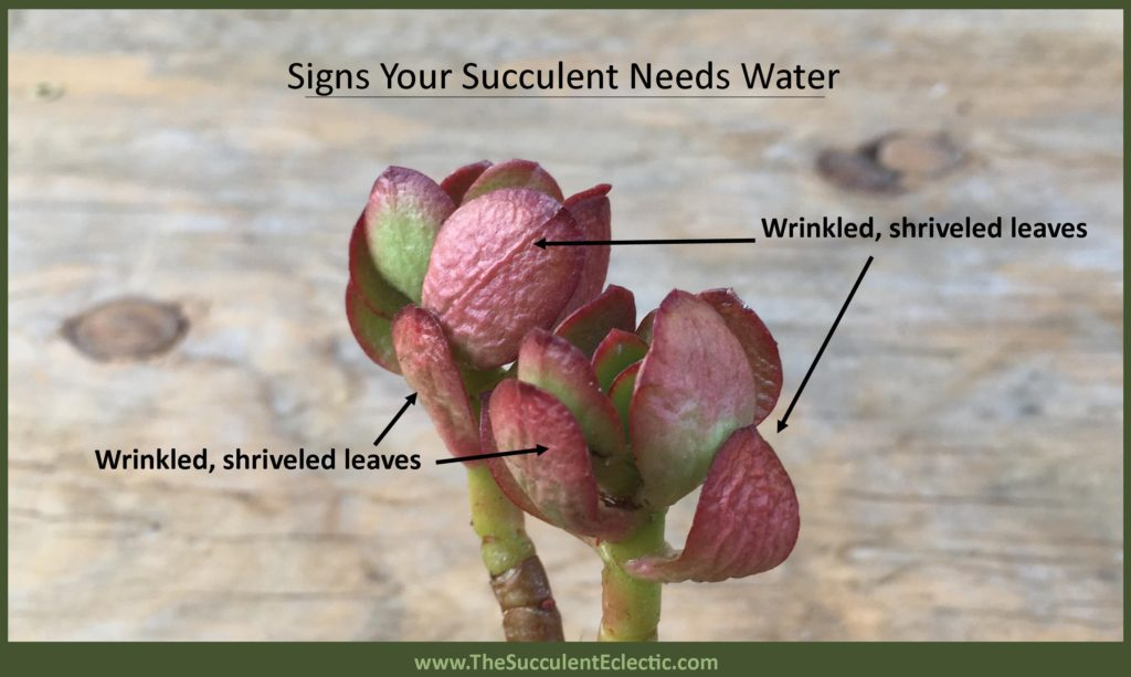 shriveled, wrinkled leaves show signs that this succulent plant needs water