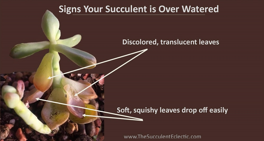 succulent showing signs of over watered illustration