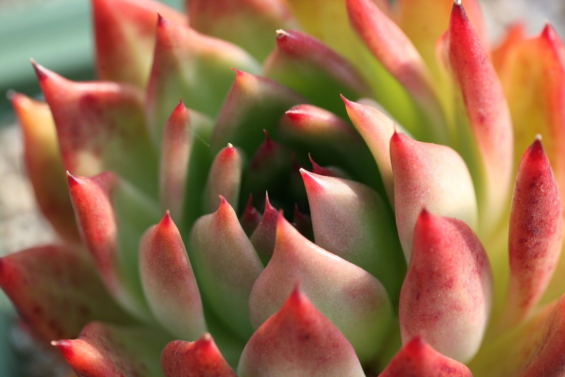 Species Spotlight ~ Echeveria! aka Mexican Hens and Chicks Plant