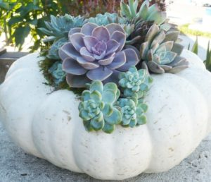 DIY Succulent Pumpkin – No Carve, No Glue, Lasts for Months!