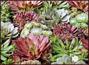 Species Spotlight – Sempervivum aka Hens and Chicks!