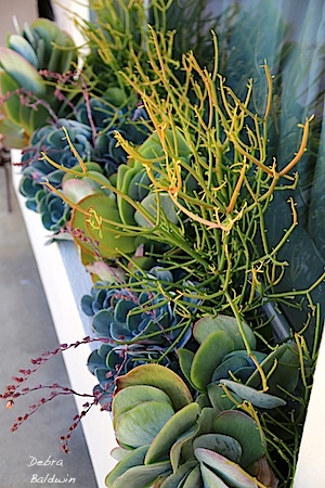 mixed succulent boarder with kalanchoe paddle plant