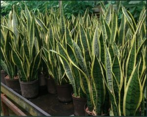 Species Spotlight – Sansevieria! aka Snake Plant