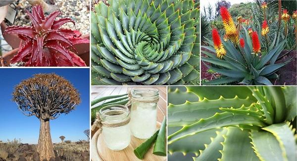 Species Spotlight – Aloe Plant Care