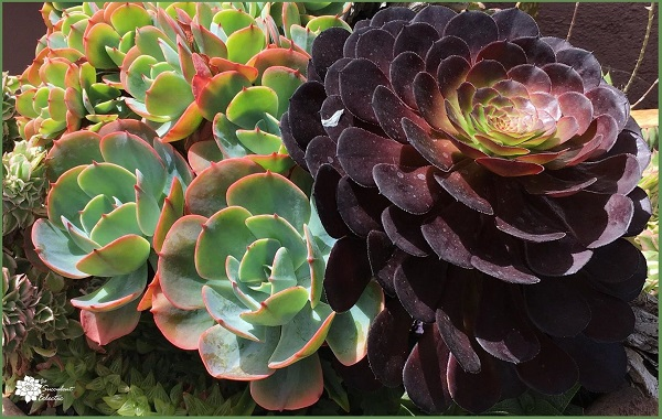 Species Spotlight ~ Aeonium Rosette Succulents!
