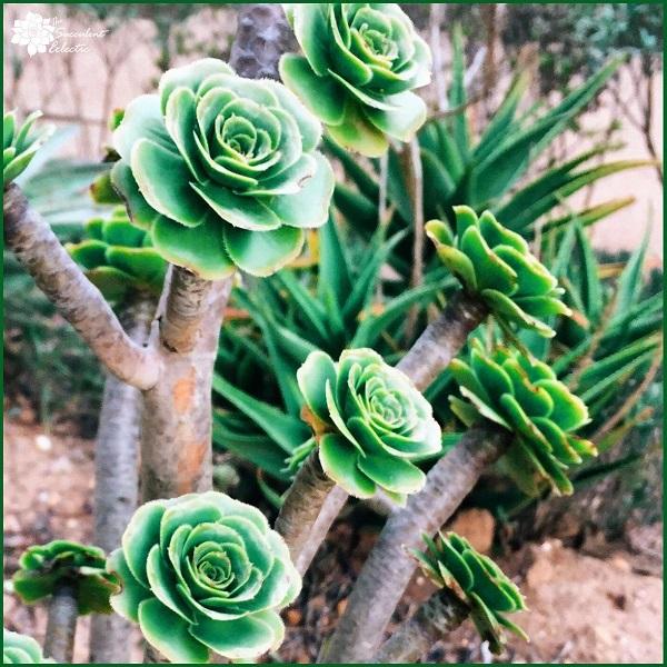 green aeonium aurea looks just like roses