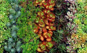 Species Spotlight – Sedum and Stonecrop!
