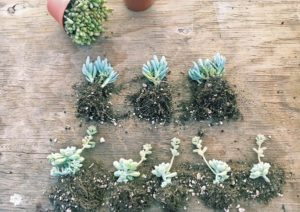 Dividing Succulents – Propagating Succulents
