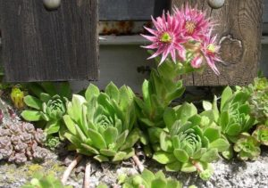Do Succulents Die After Blooming? Some do. Kinda, Sorta