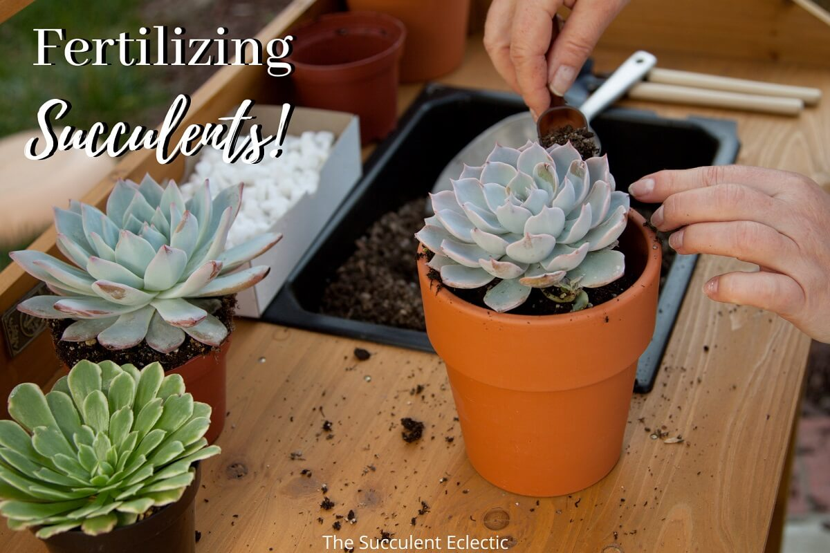 Read more about the article Succulent Fertilizer – Which, When and How Often