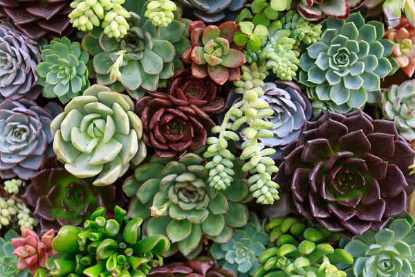 Select Succulents to Suit Your Site
