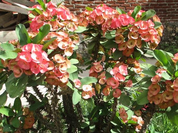 Euphorbia millii Crown of Thorns in bloom