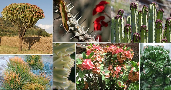 Species Spotlight – Euphorbia! Edgy & Enigmatic