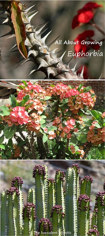 all-about-growing-euphorbia-8