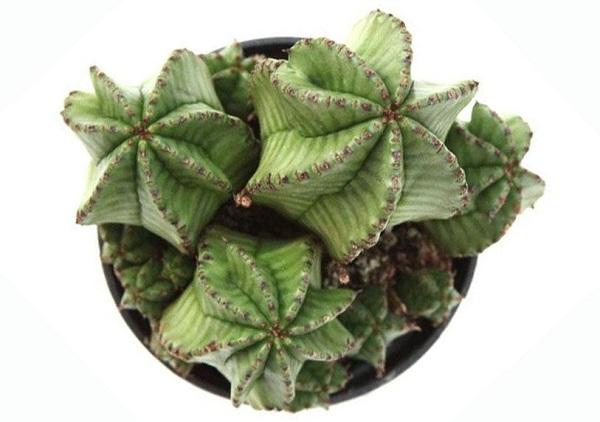 euphorbia zipper plant