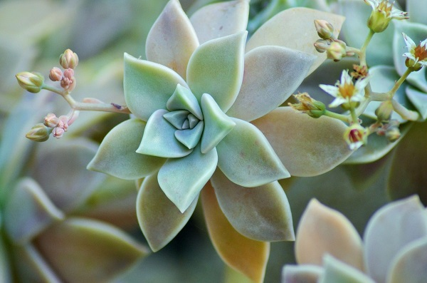 Species Spotlight ~ Graptopetalum & Hybrids