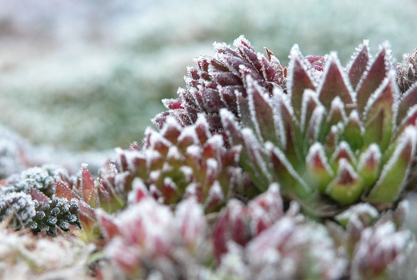 Understanding Winter Hardy Succulents