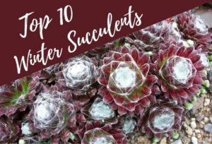 Read more about the article 10 Best Winter Succulents