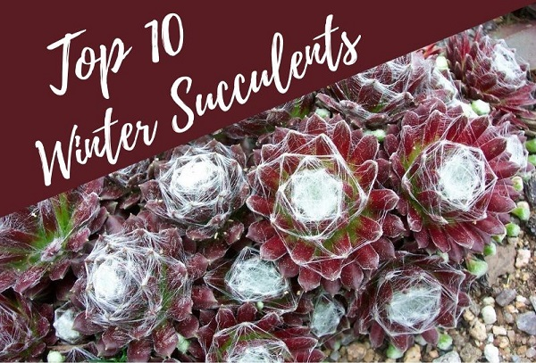 10 Best Winter Succulents