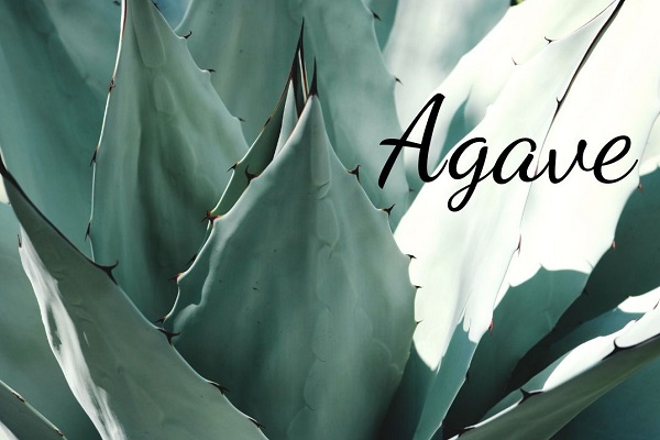 Species Spotlight – Agave Plant Care