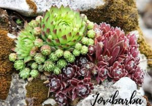 Jovibarba vs. Sempervivum