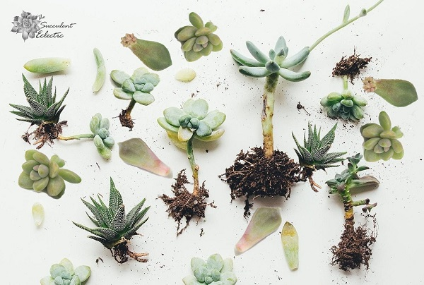You are currently viewing 12 Easiest Succulents to Propagate!