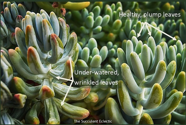 signs of underwatered succulents