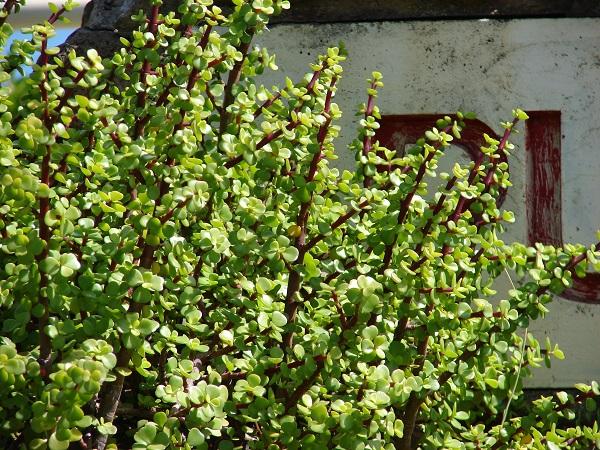 Portulacaria afra or elephant bush