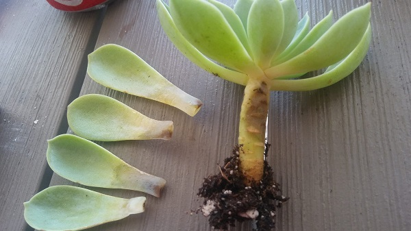 plant showing succulent stem rot