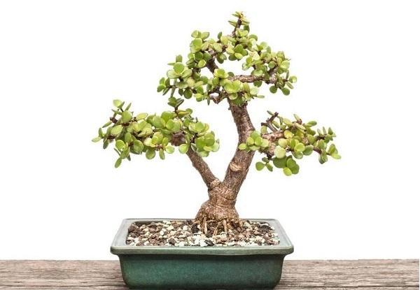 Portulacaria afra bonsai tree