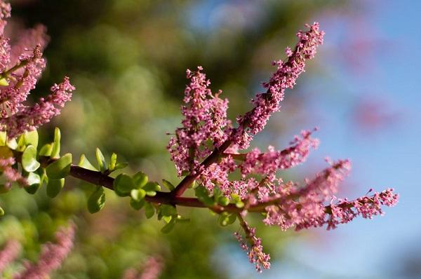 flowering branch of Portulacaria afra or Spekboom plant