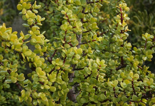 Portulacaria afra or Spekboom plant