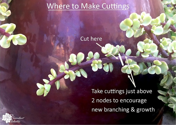diagam of where to take cuttings from Portulacaria afra