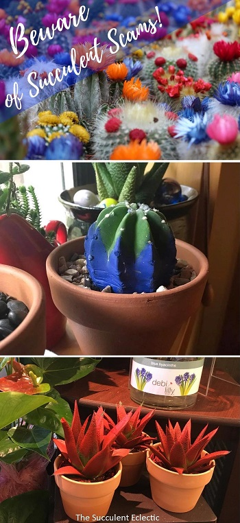 beware of succulent scams like painted plants, cactus with fake flowers glued on and fake seeds