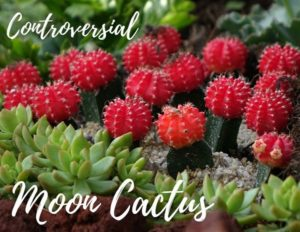 Controversial, Colorful Moon Cactus