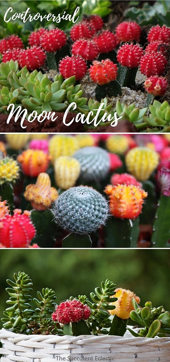 controversial moon cactus info and care