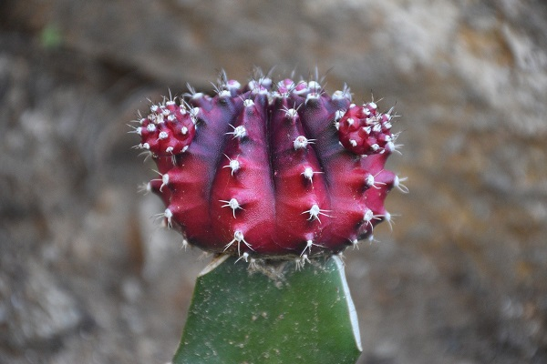 closeup of red grafted moon cactus