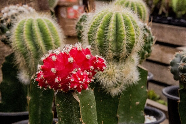 3 grafted cactus with red moon cactus