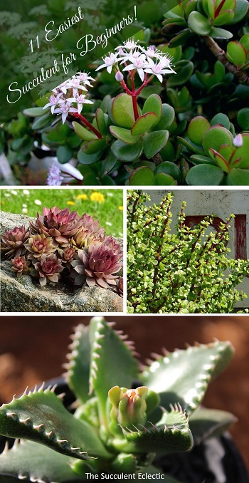 11 Easiest Succulents to Grow