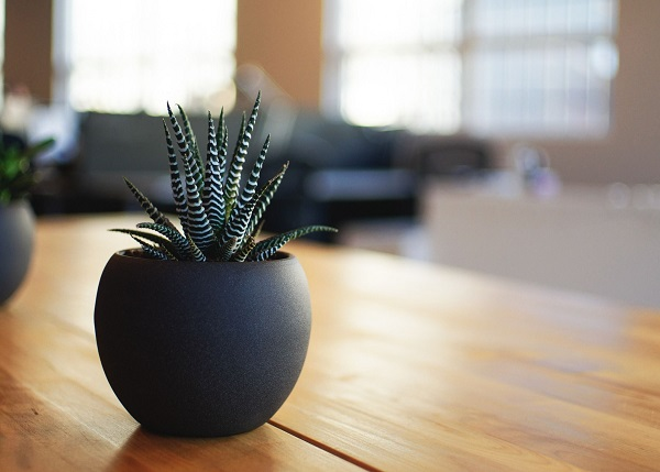 haworthia fasciata is an easy succulent to grow indoors