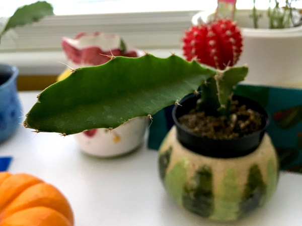 moon-cactus-sprouting-a-side-branch needs pruning