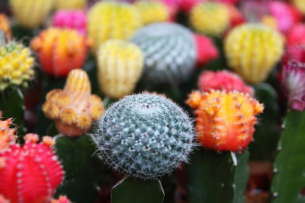group of colorful grafted cactus