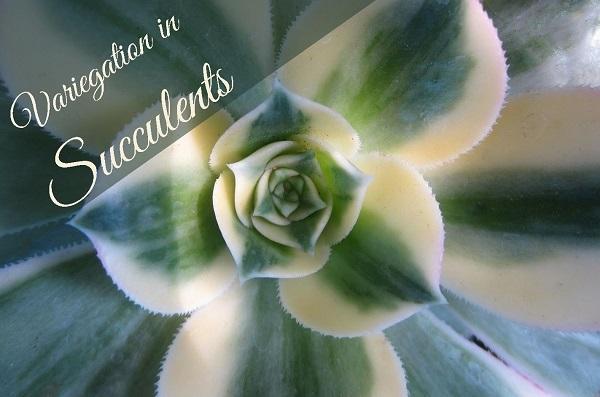 Understanding Variegated Succulents