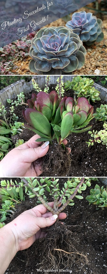 Planting succulents for fast growth