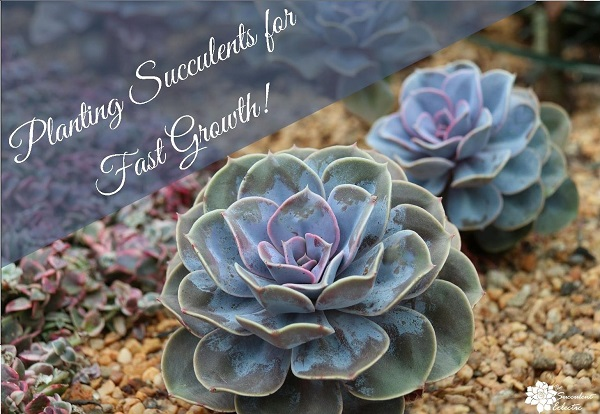How To Plant Succulents For Fastest Growth The Succulent Eclectic