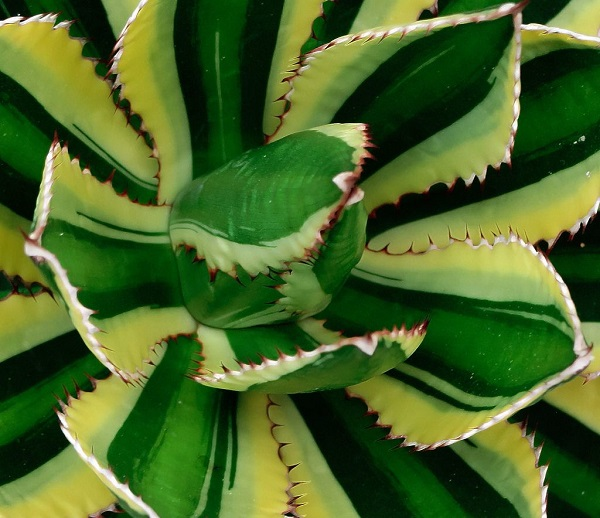 Agave lonphantha 'Quadricolor' is a striking variegated succulent