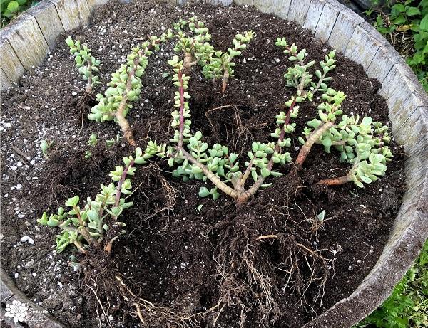 dividing succulents prior to planting