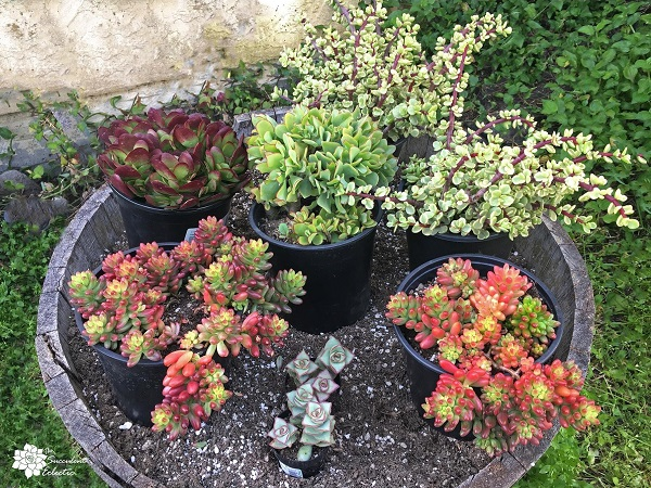 gather succulents for planting