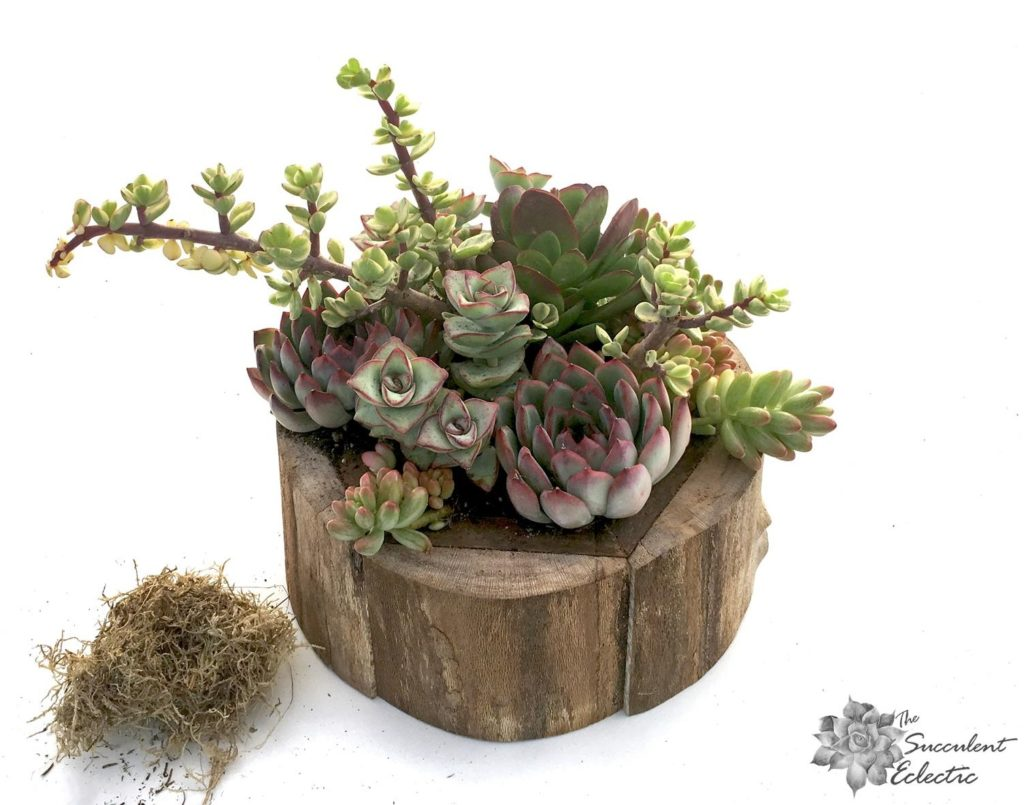 add moss to finished succulent arrangement
