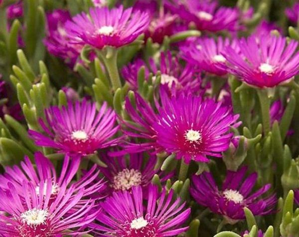 Delosperma cooperi - magnet flowering ice plant